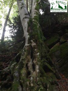 Bosc monumental de Catalunya la Grevolosa